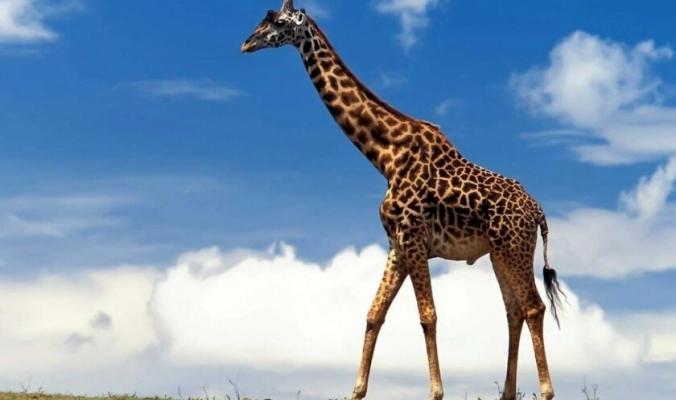 أطول زرافة في العالم تدخل موسوعة غينيس.. طوله 5.7 متر وهو أب لـ10 صغار