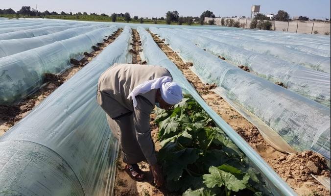 الأنفاق الزراعية في غزة.. ترشيدٌ لمياه الري ومحاصيل عضوية ونتاج غزير في غير مواسمه