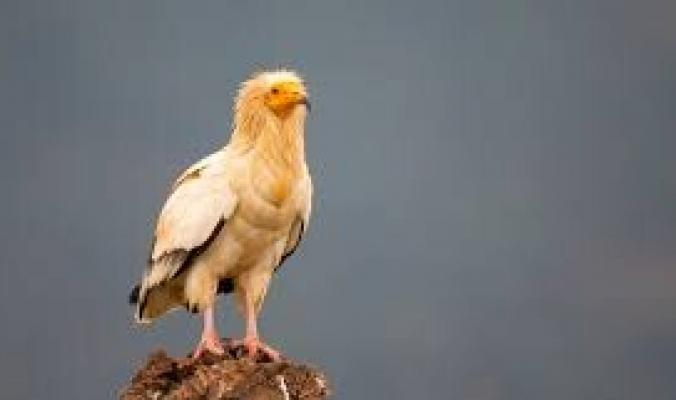 """اتّخذه الفراعنة إلهاً واستخدمه صلاح الدين رمزاً له.. """"النسر المصري"""" ليس مجرد طائر مهدد بالانقراض"""