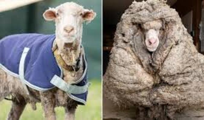 خروف في أستراليا ارتاح من 35 كيلوغراما من الصوف