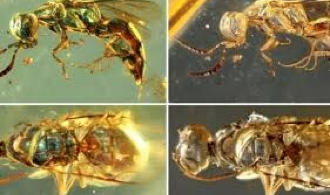 الكهرمان يحفظ ألوان الحشرات المبهرة على مدى 99 مليون سنة