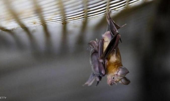 """""""خزان الفيروسات"""".. هل تسبب الخفاش في وباء """"كورونا""""؟"""