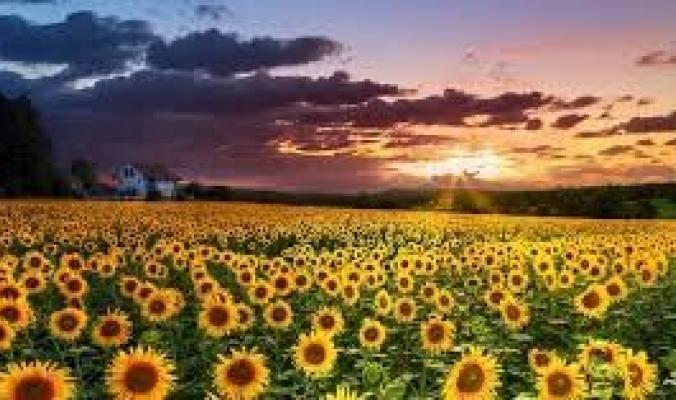 لماذا تتجه أزهار دوار الشمس الناضجة إلى الشرق؟