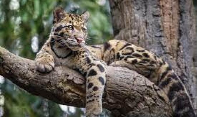 من متر إلى 3 أمتار طولا ومن 25 إلى 300 كيلوجرام وزنا.. قائمة أكبر 9 قطط في العالم