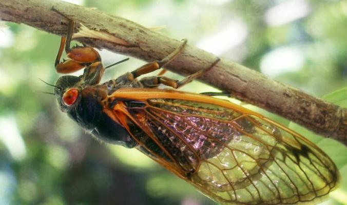 تخرج كل 17 عاما وتصدر ضجيجا عاليا.. حشرات الزيز تستعد لغزو أميركا