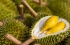 الدوريان: فاكهة استوائية باهظة الثمن.. رائحتها كريهة ودورة حياتها قصيرة جداً