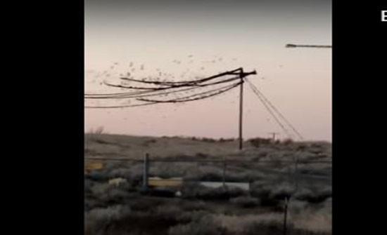 """مئات العصافير """"تحترق"""" على أسلاك الكهرباء... بالفيديو"""