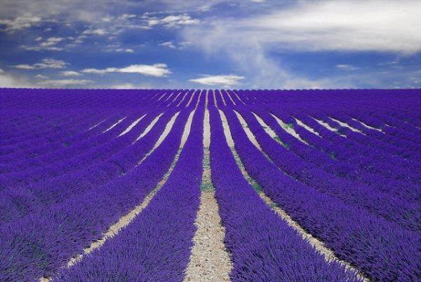 مزارع الخزام في فرنسا .. هل رأيتها من قبل ؟