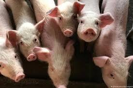 6 أمور مرعبة وأخرى جيدة حول فيروس إنفلونزا الخنازير الجديد الذي ظهر في الصين