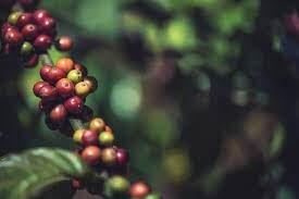 ماعز إثيوبية أم راهب يمني؟ عن تاريخ اكتشاف القهوة وانتشارها من شبه الجزيرة العربية إلى العالم