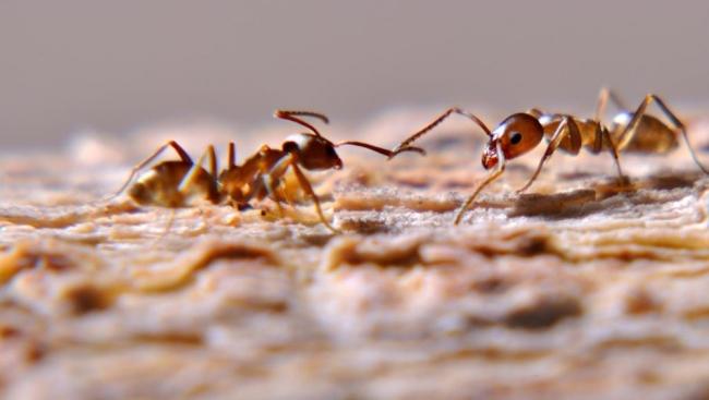 نتائج تجربة عملية.. النمل لا يعاني من اختناقات المرور